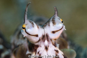 The eyes of mimic octopus. by Mehmet Salih Bilal 